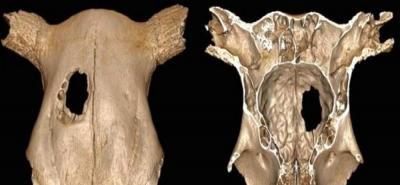 La vaca que fue operada en la Edad de Piedra