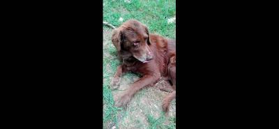 El perro 'Chocolate' tiene una herida en su párpado, la cual fue atendida por un veterinario y espera su recuperación.