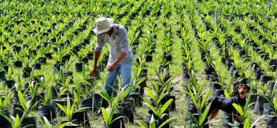 De acuerdo con el funcionario, en los últimos años se ha logrado un incremento de la producción de aceite de palma en un 70%, pasando en 2014 de 1.111.429 toneladas a 1.627.552 toneladas en 2017.