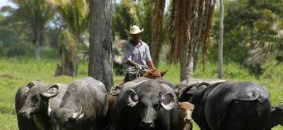 En el primer trimestre de 2018, el sacrificio de búfalos en el país llegó a 7.756 cabezas.