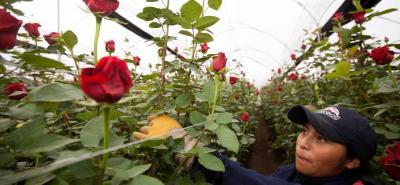 Las floricultura en Colombia es un subsector agrícola que se ha consolidado en el mercado externo.