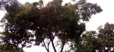 Tras el trabajo de poda hecho por la Piedecuestana, los veedores del municipio indicaron que hacen falta otras medidas para proteger los arbustos de este sector.