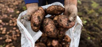 El 80% de la producción nacional de papa está en manos de pequeños productores, que no tienen menos de una hectárea.