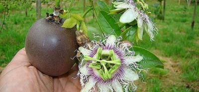 La gulupa es una de las frutas exóticas que más se ha posicionado en la Unión Europea. Las ventas a ese destino de gulupa y uchuva superan los 25 millones de dólares.