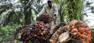 La palma sembrada en Santander es una de las de mayor poductividad por hectárea.