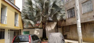 Esta es la palma gris que ahora tiene enfrentadas a dos comunidades por una solicitud que se realizó ante el AMB para su tala o traslado.