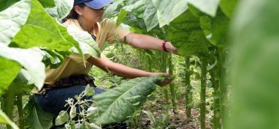El 95% de las siembras de tabaco en Santander son adelantadas por pequeños campesinos que utilizan la mano de obra familiar para sacar adelante sus siembras.