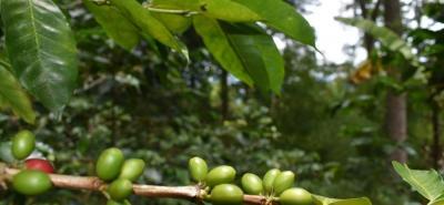 La Universidad Libre desarrolla constantes estudios relacionados con la producción de cafés especiales, como es el diseño de una planta torrefactora de café para su transformación y distribución.