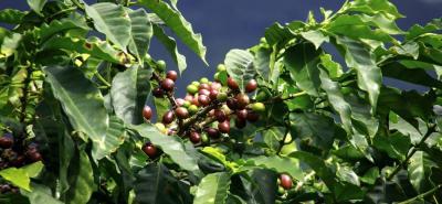 Los cafeteros estiman que la OIC debe adelantar campañas para la promoción del consumo e implementar la Agenda 2030 para el desarrollo sostenible del cultivo.
