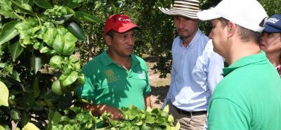 Investigadores buscan salvar los cultivos de lima tahití de Santander