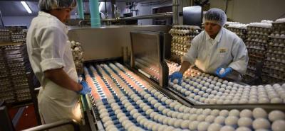 Santander es el dueño del 23% de la producción nacional de huevo. Tres municipios son los principales productores: Lebrija, Mesa de los Santos y Piedecuesta.