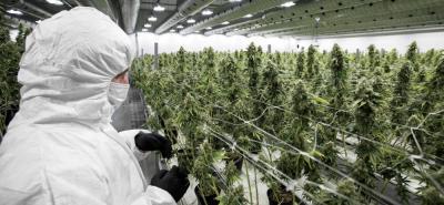 Fabricantes de licores le apuestan al negocio de la marihuana