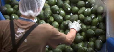 En hass, Colombia es el cuarto país productor y el tercero en términos de área cosechada, con una participación del 6% del área mundial.
