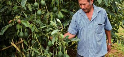La mitad de las exportaciones de aguacate hass colombiano son realizadas por los productores de Antioquia.