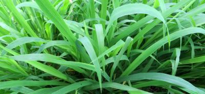 El abundante forraje y sus buenas condiciones de proteína, hacen de la Sabanera una pastura que permitirá mejores resultados en la actividad ganadera del país.