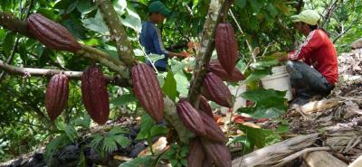 Para Fedecacao, de tenerse un buen manejo técnico, las producciones de cacao pueden estar por el orden de los 1.000 kilos por hectárea.