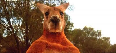 Australianos despiden al canguro Roger, el más musculoso