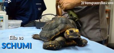 'Shumi', una tortuga que ahora vive sobre ruedas