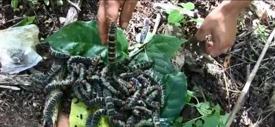 Zats, los gusanos convertidos en manjar de la cocina mexicana