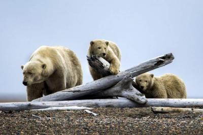 Vea cómo el cambio climático llevó a los osos polares a buscar alimento en Alaska