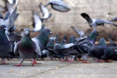 Palomas en Santander: las aves que conviven en armonía con el hombre