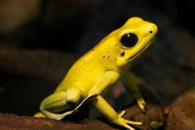 La batalla por salvar del peligro de extinción a rana de Colombia