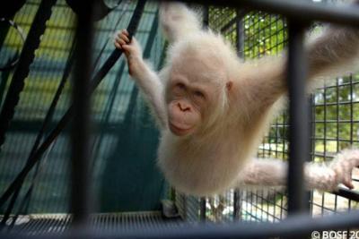 Así es Alba, la única orangután albina conocida en el mundo