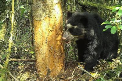 Así viven los osos de anteojos en el Parque Natural Chingaza