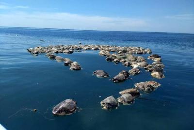 Cerca de 300 tortugas en peligro de extinción murieron en redes de atún en México