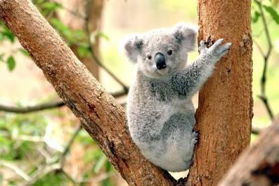 La tala de árboles redujo un 53 y 26 por ciento la población de koalas en el 2017.