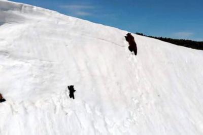 La historia de una osa y su osezno que luchan por subir una ladera inclinada