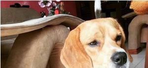 Suministradas por el 'Beagle Club Bucaramanga'.